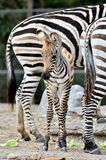 Young Zebra Stock Images