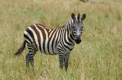 Young Zebra. Portrait of a young Zebra on the plains of the Masai Mara in Kenya, Africa Royalty Free Stock Photo