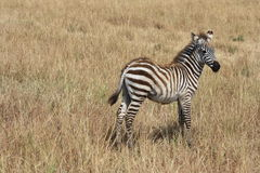 Free Young Zebra Royalty Free Stock Image - 43398216