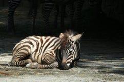 Young zebra Stock Photos