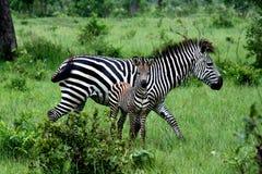 young zebra Στοκ Εικόνες