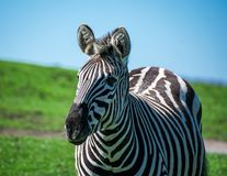 A young zebra alert and looking forward royalty free stock photography