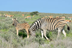 Young zebra and antelope Royalty Free Stock Image
