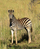 Young zebra with bird Stock Image
