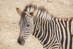 Young Zebra Chapman, Equus Burchelli Chapmani.  Royalty Free Stock Image