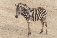 Young Zebra Chapman, Equus Burchelli Chapmani Stock Photo