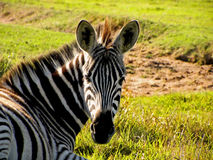 Young Zebra2 Royalty Free Stock Images