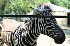 Young zebra, close up to the fence of the enclosure close-up royalty free stock photography