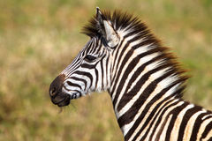 Young Zebra Colt Wildlife Royalty Free Stock Photography