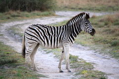 Young Zebra crossing dirt track road in Botswana Stock Photography