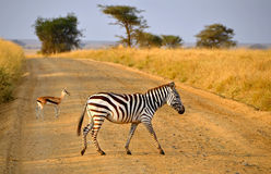 Young Zebra crossing road with Antelope on Safari Stock Photos