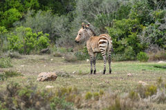 Young Zebra in De hoop nature reserve stock image