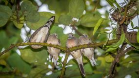 Young zebra dove bird perching on the tree. Four young zebra dove bird perching on the tree Stock Image