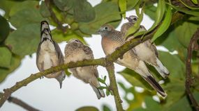 Young zebra dove bird perching on the tree. Four young zebra dove bird perching on the tree Royalty Free Stock Image