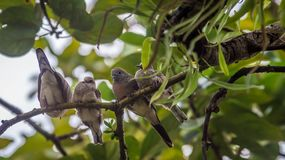Young zebra dove bird perching on the tree. Four young zebra dove bird perching on the tree Stock Images