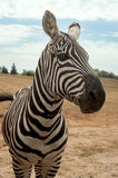 Young Zebra in dry grasslands Stock Photo