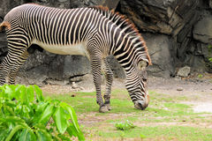 Young Zebra Eating. Young Grevy's Zebra eating in a South Florida zoo Royalty Free Stock Photos