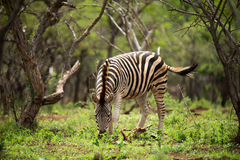 A Young zebra eating green foliage royalty free stock photos