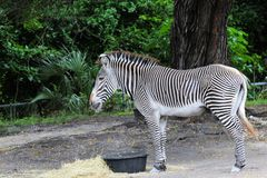Young zebra eating. Young Grevy's zebra eating.  The Grevy's zebra (Equus grevyi) is also known as the imperial zebra.  Photographed in Zoo Miami, South Florida Stock Photography
