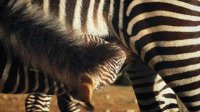 Young Zebra Feeding From Mother stock video footage