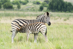 Young zebra feeding Royalty Free Stock Photography