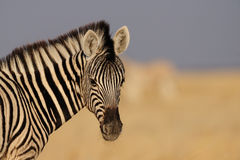 Young zebra foal portarit Royalty Free Stock Image