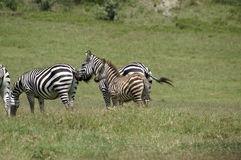 A young zebra foal Stock Photography