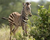 Young zebra foal. Seen at Ngorongoro Crater National Park, near Arusha, Tanzania stock photos