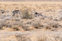 A young zebra following its mama in Etosha National Park, Namibia stock photos