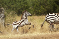 A young zebra gallopping Stock Photography