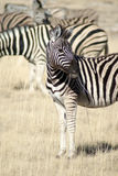 Young zebra in grass in Etosha National Park Royalty Free Stock Photography