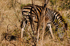 Young zebra grazing. A young zebra grazing in Madikwe Game Reserve after the first November rains Stock Image