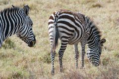 Zebra with foal, Zebra with baby, young zebra with soft fur in Serengeti, Tanzania Stock Photos