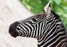 Young zebra head portrait Stock Photos