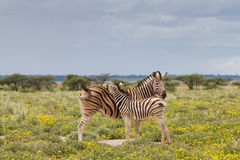 Young zebra and her mother Royalty Free Stock Images