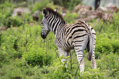 Young Zebra Royalty Free Stock Photography
