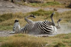 Young Zebra lying down on the Back Stock Images