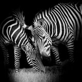 Young zebra with mom Stock Image