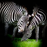 Young zebra with mom Stock Photo