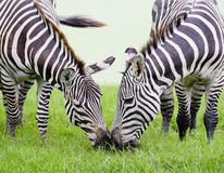 Young zebra with mom royalty free stock images