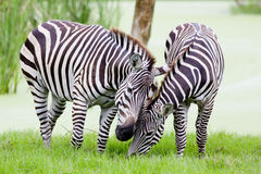 Young zebra with mom Stock Images