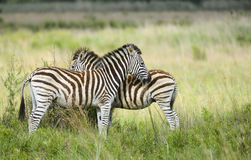 Young zebra in morning light Royalty Free Stock Photos