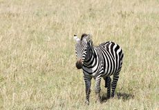 A young zebra Royalty Free Stock Photography