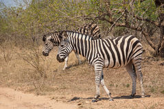 Young zebra. Wild Zebra foal in African savannah Royalty Free Stock Photography