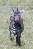 Young Zebra poses for a photo Royalty Free Stock Image