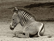 Young Zebra at Rest Stock Image