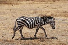 Young zebra Stock Photo