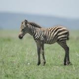 Young zebra at the Serengeti Stock Image