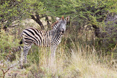 Young zebra standing in the bush. In Africa Stock Photo