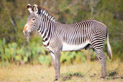 Young zebra standing stock image